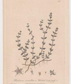 Antique Engraving print, Illecebrum verticillatum, 1842