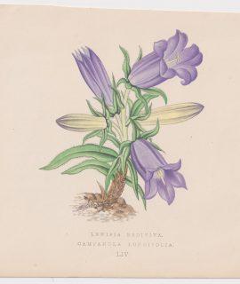 Antique Print, Lewisia Rediviva, 1870
