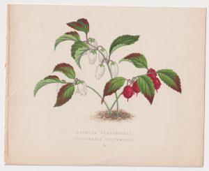 Antique Print, Primula Glaucescent, 1870