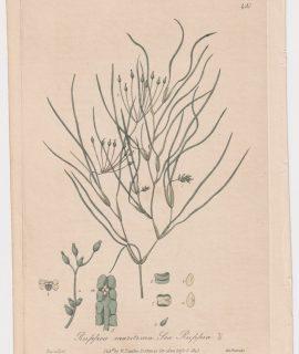 Antique Engraving Print, Ruppia maritima, 1841
