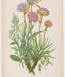 Antique Print, Small Chaffweed, 1860