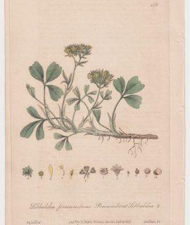 Antique Engraving Print, Sibbaldia procumbens, 1842
