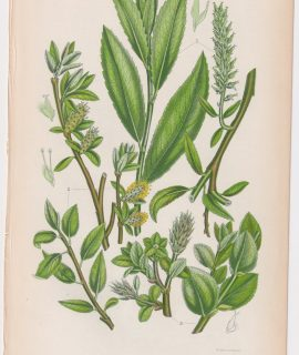 Antique Print, Tea Leaved Willow, 1860