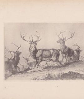Antique Print, Deer, 1884