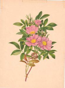 Vintage Print, Rosehip, 1880