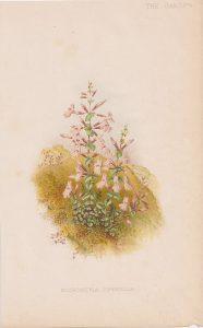 Antique Print, Micromeria Piperella, 1881