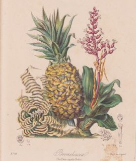 Antique Print, Bromeliacea, The Pine-apple, 1880