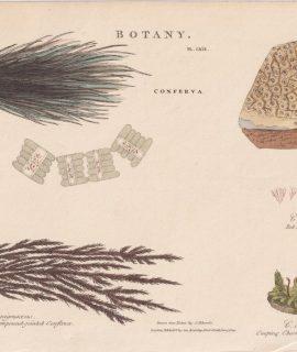 Antique Engraving Print, Botany, 1809