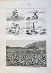 Antique print, Shark-Shooting Extraordinary; Wideawakes at Ascension Island, 1882