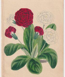 Antique Print, Primroses, 1870 ca.
