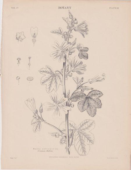 Antique Print, Malva silvestris, 1889