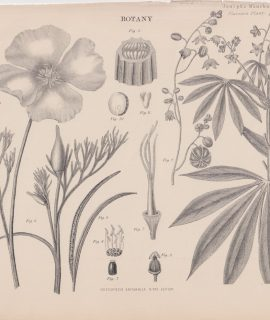 Antique Print, Janipha Manihot, Cassava plant, 1889