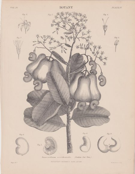Antique Print, Anacardium occidentale, Cashew nut Tree, 1889