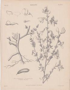 Antique Print, Sarothamnus scoparius, 1889