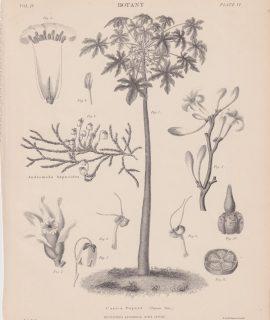 Antique Print, Carica Papaya, 1889
