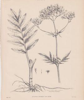Antique Print, Valeriana officinalis, 1889