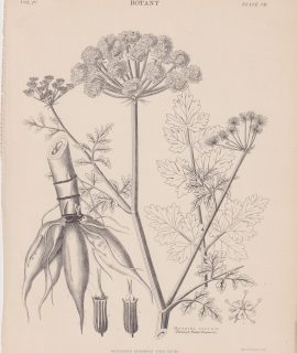 Antique Print, Oenanthe crocata, 1889