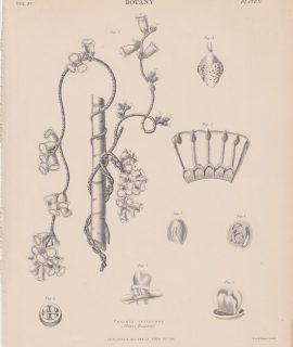 Antique Print, Cuscuta verrucosa, 1889
