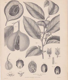 Antique Print, Myristica moschata (Nutmeg), 1889