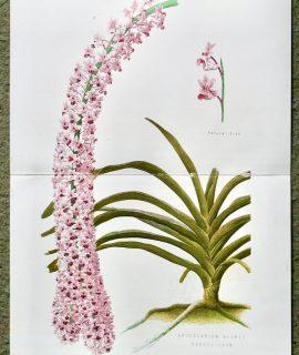 Antique print, Saccolabium Blumei Russelianum, 1880