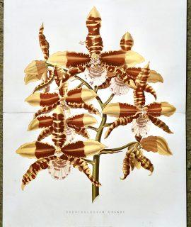 Antique Print, Odontoglossum Grande, 1880