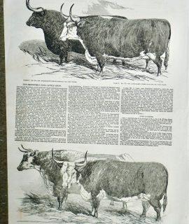 Antique Print, Smithfield Club Prize Cattle, 1851