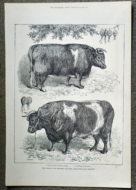 Antique Print, Prize Cattle, 1878