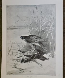 Vintage Print, A successful Foray, 1896