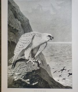 Antique Print, Falcon on the watch, 1897