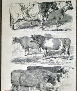 Antique Print, Cattle, 1851