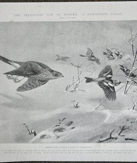 Vintage Print, Sparrow-Hawk Raiding a Flock of Chaffinches, 1903