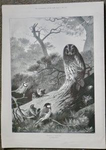 Vintage Print, Mobbing A Wood-Owl, 1897