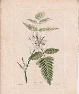 Antique Engraving Print, Rubus rosaefolius, 1802 ca.