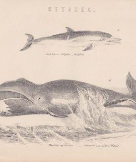 Antique Print, Balaena Mysticetus, 1870