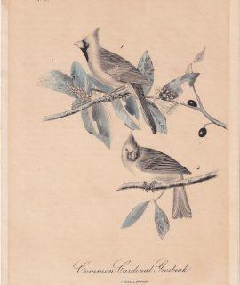 Rare Antique Print, Common Cardinal Grosbeak, 1870 ca.