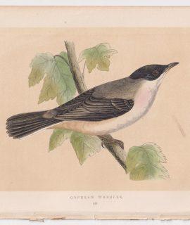 Antique Print, Orphean Warbler, 1860