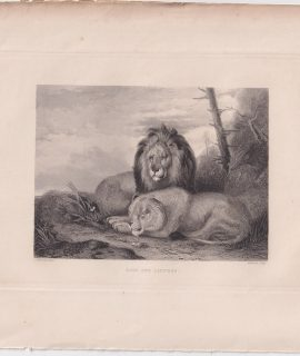 Antique Engraving Print, Lion and Lioness, 1830