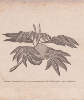 Antique Engraving Print, A Branch of the Bread fruit tree, 1801