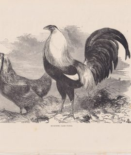 Antique Print, Ducking Game Fowls, 1880