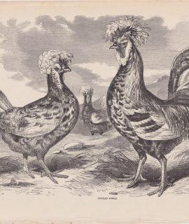 Antique Print, Houdan Fowls, 1880