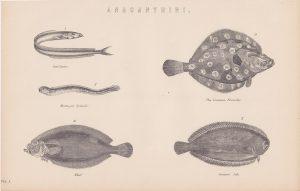 Antique Print, Anacanthini, 1870