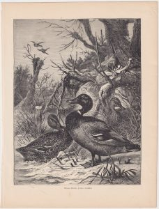 Antique Print, Wild Ducks, 1880