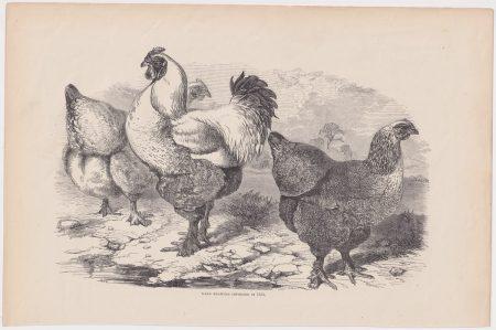Antique Print, Dark Brahmas, 1880