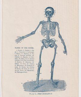 Vintage Print, The Skeleton, 1910 ca.