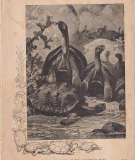 Vintage Print, The Elephant Tortoise of the Galapagos Isles, 1880