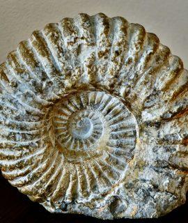 Ammonite Fossil, Cretaceous age